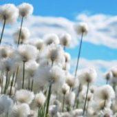 Ode au coton égyptien, le plus beau au monde